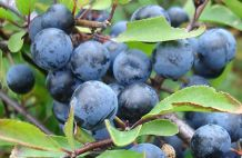 Kökénymag olaj (Prunus spinosa)
