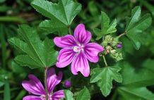 Erdei mályva – a hurutoldó-gyulladáscsökkentő gyomnövény
